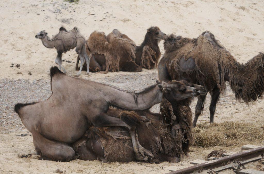 Parende kamelen